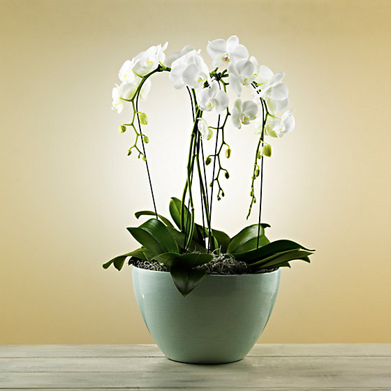 The Exquisite Orchids Style Living Ms